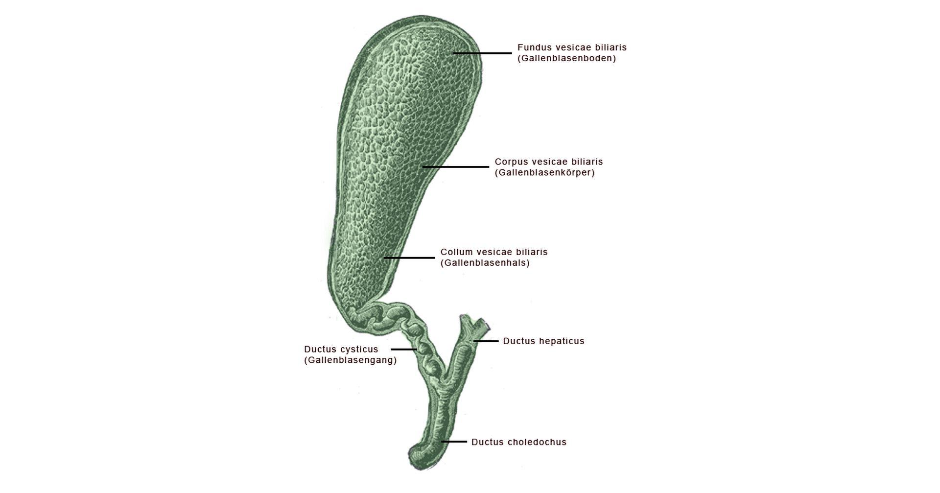 žlučník